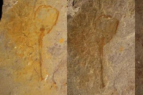 Foto  Arkeolog Temukan Fosil Unik Mirip Bunga Tulip